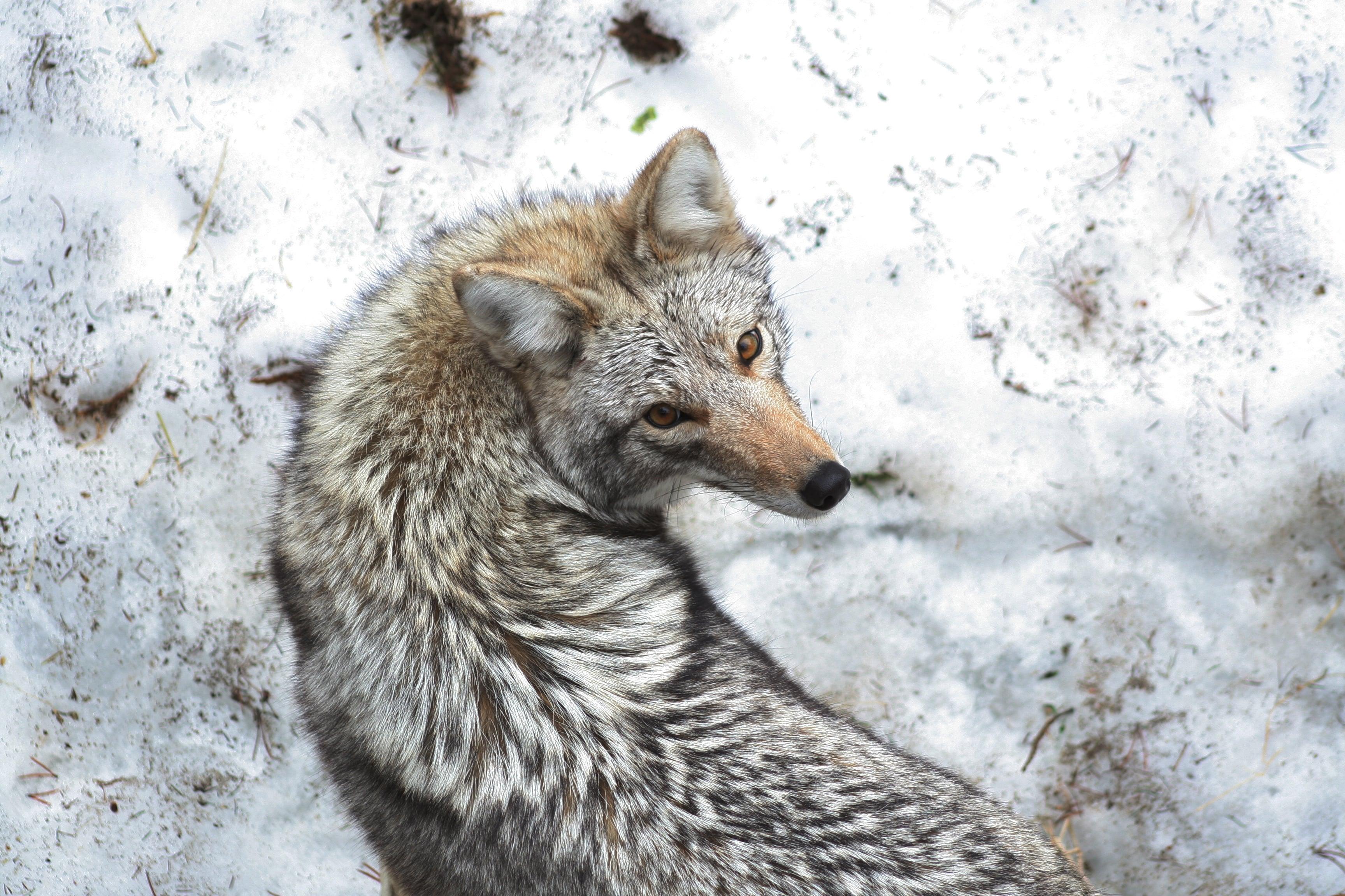 coyote mirando a camara